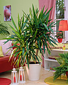 Yucca in white planter in the living room, shelf, red sofa, lantern