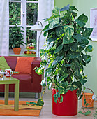 Epipremnum pinnatum in red pot in the living room, living room table