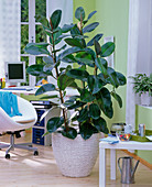 Ficus elastica in braided planter in the office, office chair
