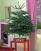 Abies nordmanniana, as a Christmas tree on a red stool