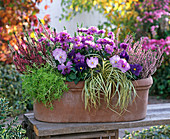 Plant box with viola, aster and calluna