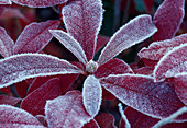 Azalea mollis, leaves in hoarfrost