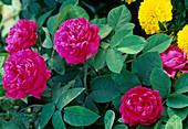 Flowers of Rosa damascena 'Rose de Resht', often flowering
