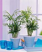 Chamaedorea elegans (mountain palm) in turquoise planters