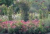 Rose in rose garden with rose arch