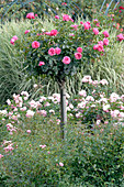 Rosa 'Leonardo da Vinci' syn. 'Meideauri' (bed rose)