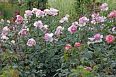 Rosa 'Honoré de Balzac' syn. 'Meiparnin', tea hybrid, often flowering