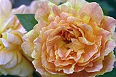 Blossom of Rosa 'Jean Giono' syn. 'Meirokoi', tea hybrid