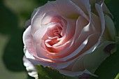 Blossom of Rosa 'Cesar' (rose), modern shrub rose, from Meilland