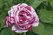 Rosa 'Ferdinand Pichard', Historical Rose, often flowering, fragrant