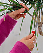 Rooted cuttings of Dracaena in the water