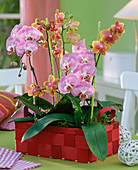 Phalaenopsis in red woodchip basket on the table, with green ribbon
