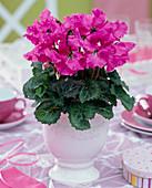 Cyclamen 'Miniwella' (cyclamen) pink, in white planter
