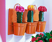 Grafted cacti in wall containers