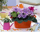 Saintpaulia, purple-white, in orange jardiniere on the table