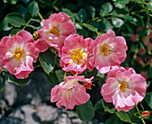 Rose 'Candy Rose' (shrub rose)