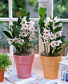 White dendrobium in pink and orange planters by the window, cloth