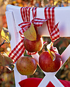 Malus (apple) tied to the back of a chair with checkered ribbon