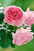 Pink 'Geoff Hamilton' (English Rose) by David Austin