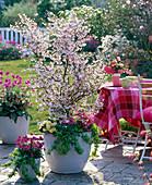 Prunus kurilensis 'Ruby' (Rosa Kuril cherry)