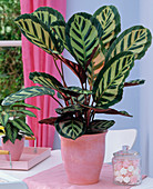 Calathea roseopicta in planter on the table, candy jar