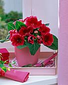 Sinningia (Gloxinie, rot) auf Tablett am Fenster, Mini-Gartenwerkzeug