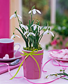 Galanthus nivalis in pink mug with ribbon on the table