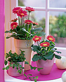 Gerbera, Ficus pumila (climbing fig) on ??the window, decorative balls