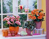 Begonia in pink and orange, Begonia 'Escargot'