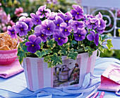 Viola wittrockiana Bingo 'Clear Azure' (pansies)