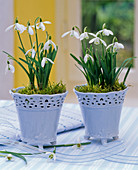 Galanthus nivalis in light blue pots on the table, ribbon