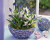 Muscari, Scilla in a patterned bowl by the window