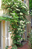 Hydrangea petiolaris (climbing hydrangea) on house wall