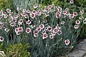 Dianthus x allwoodii 'Alice'