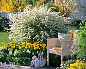 Spiraea arguta (bridal plover), Tulipa 'Beauty Of Apeldoorn'