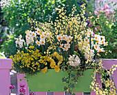 Yellow-white scent box, Narcissus, Cytisus, Erysimum