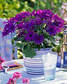 Senecio senetti 'Blue' (ash flower)