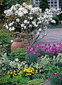 Magnolia stellata, Narcissus 'Tete a Tete'