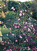 Camellia japonica 'Nuccio's Pearl' (camellia)