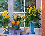 Tulipa (tulip), Narcissus 'Tete á Tete' (narcissus), Muscari