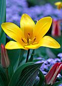 Tulipa greigii (Botanische Tulpe)