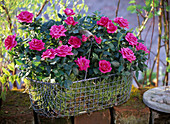 Rose (pot roses) in pink, in moss-lined wire basket