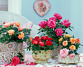 Rose (pot Roses), Pink, Red, Salmon and Orange
