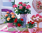 Rose (potted roses), red, salmon and pink in planters