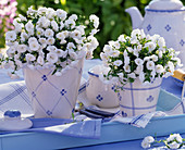 Campanula carpatica 'White Ball' (blooming Bellflower)