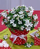 Campanula isophylla (weiße Glockenblume)