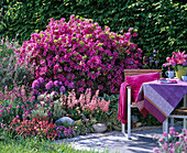 Rhododendron obtusum 'Kermesina' (Japanese Azalea)