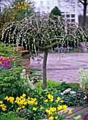 Salix caprea 'Pendula' (hanging kitten willow)