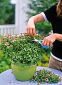 Pruning of angel geranium