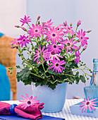 Senecio cruentus Senetti 'Lavender' (Aschenblume)